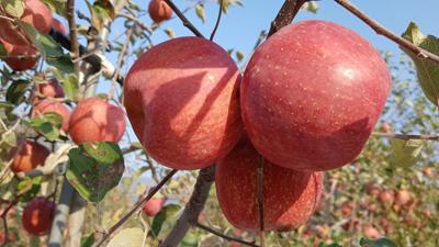 [가암농원] 홍로 사과 선물용 10kg (36과)