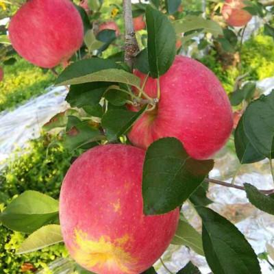 [정성사과농원] 홍로 사과 10kg (40-44과)